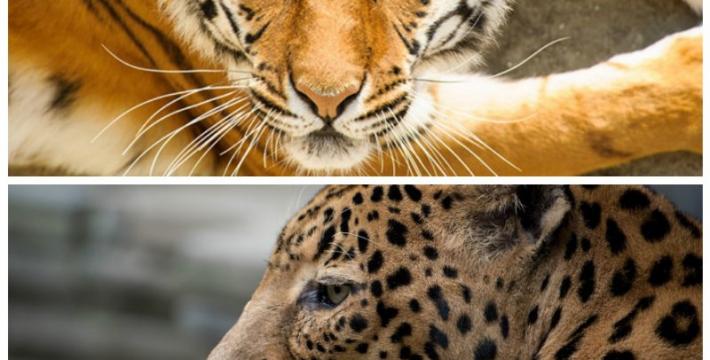 Благотворительный забег в защиту амурского тигра и дальневосточного леопарда пройдет во Владивостоке