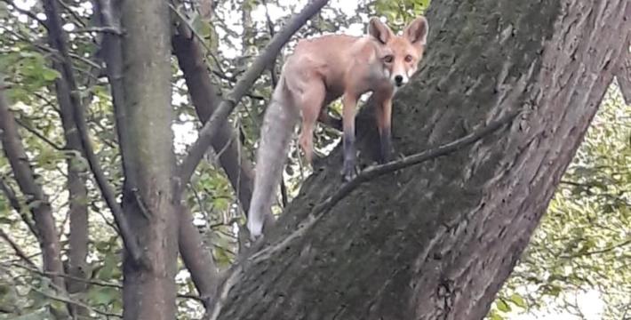 В парке Москвы появились лисы