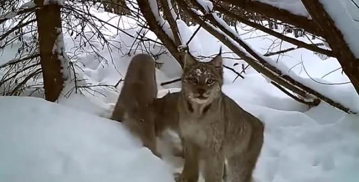 Рысь поймала зайца. Хроники зимнего леса
