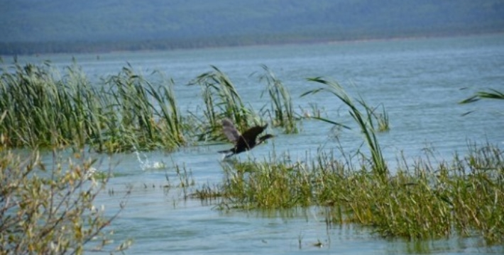 В Бурятии планируют жестокое уничтожение бакланов, для спасения омуля